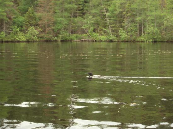 Holiday Acres Resort: a loon on Lake Thompson