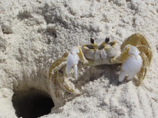 Saint George Island State Park: Feisty little Fellow