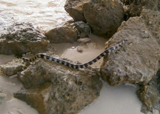 Noumea, New Caledonia: Sea snake