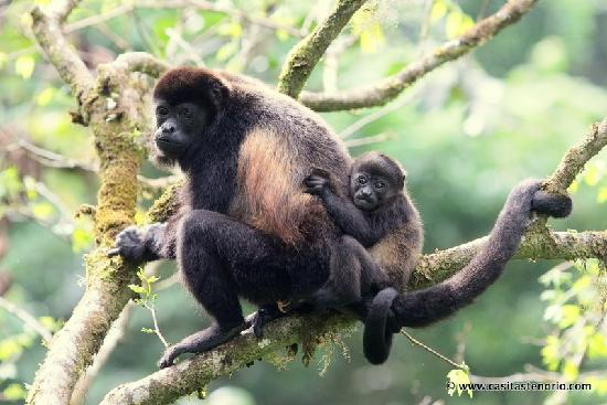 A Howler Monkey and her baby at Casitas Tenorio.