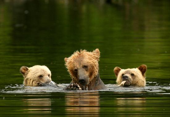 Knight Inlet Lodge: Grizzly mom and cubs
