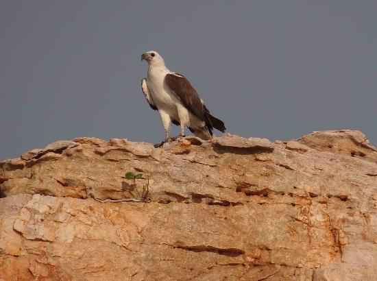 Kimberley Coastal Camp: Sea eagle