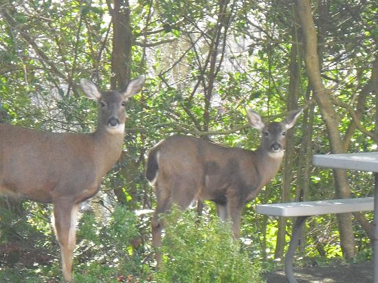 Inn at Harbour Village: Deer!