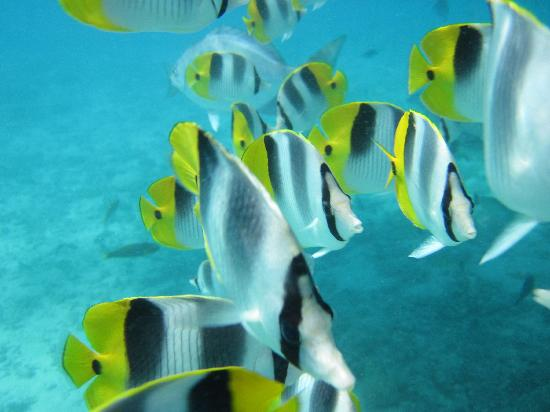 Aroa Beach, Islas Cook: tropical fishes