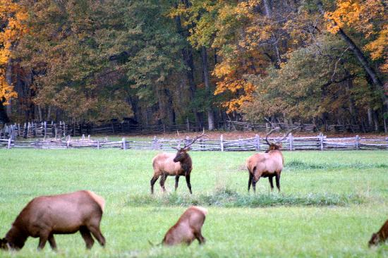 Angel Cabins: Elk herd at Visitor's Center