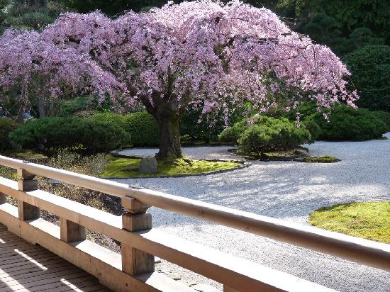 The famous cherry tree in bloom Picture of Portland