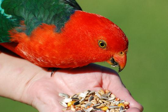 Gipsy Point Lakeside Boutique Resort: Feeding the King Parrots