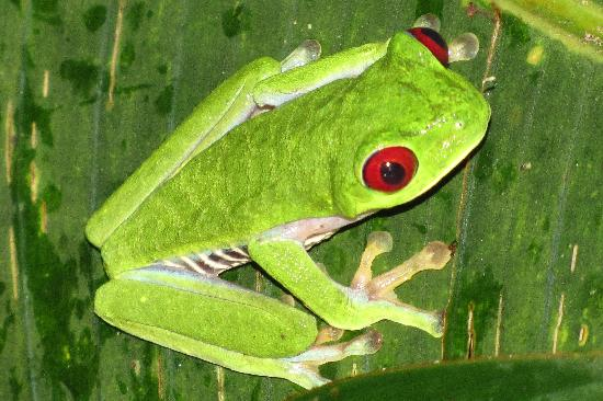 La Paloma Lodge: Famous red-eyed frog from our night hike