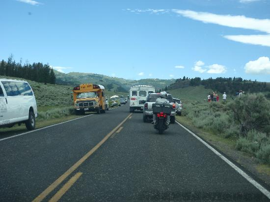 Slough Creek Campground: Traffic backed up... a sight as common as the buffalo that caused it