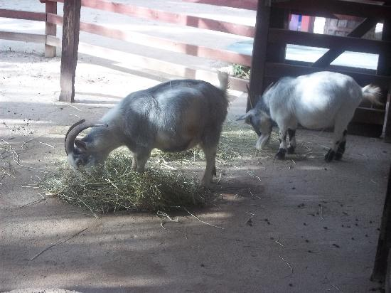 funny looking goat - photo #33