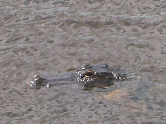 John Prince Park Campground: Young Alligator