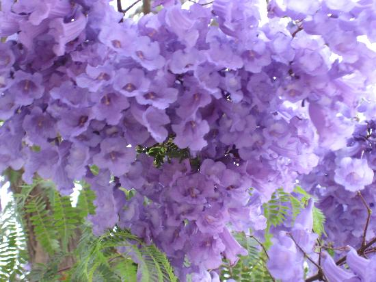 GUBAS DE HOEK meet eat sleep: the flowering trees that covered robertson that i can't remember the name......
