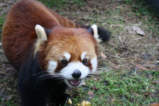 Red Panda So Cute Picture Of Woodland Park Zoo Seattle