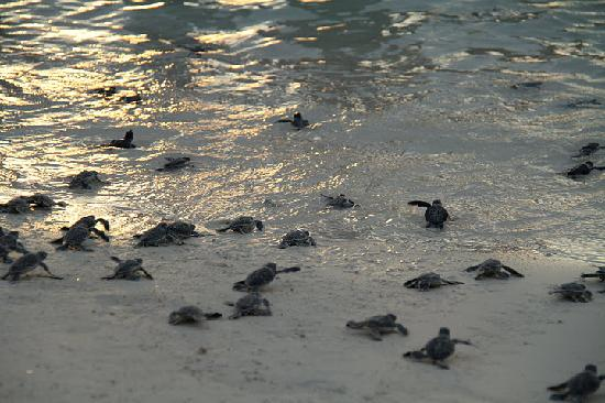 Lankayan Island Dive Resort: Green turtle hatchlings