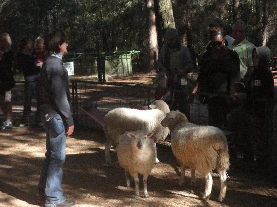 Kissimmee, FL: Green Meadows guide tells us all about sheep