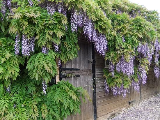 Chipping Campden, UK: Wisteria was lovely