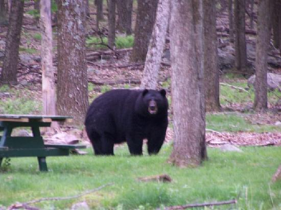 Greentown, PA: Bear at Promised Land S.P.