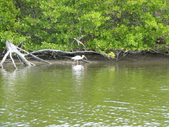 Blind Pass Condominiums: A white ibis, viewed from the kayak.