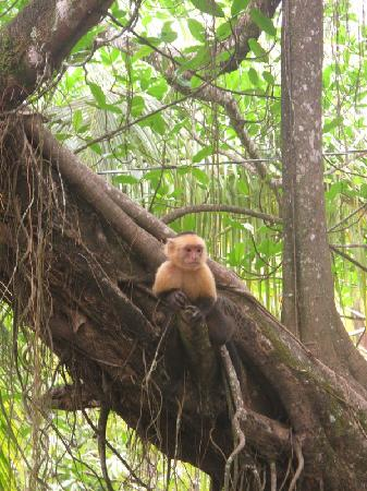 Montezuma Pacific Hotel: A monkey on the tree opposite the balcony.