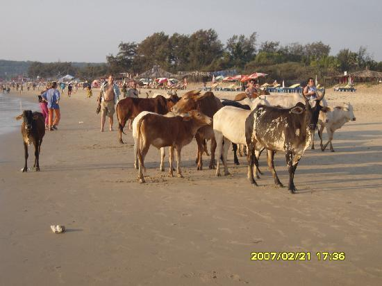 Falcon Beach Resort: Cows are going back home in the afternoon
