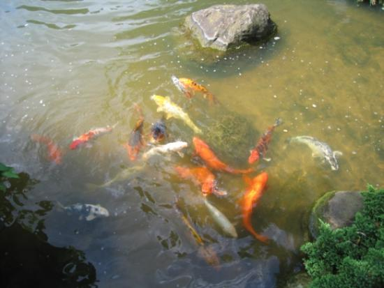 Waterfalls picture of anderson japanese gardens for Koi pool water gardens thornton