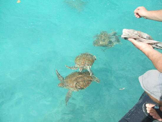 Bonanza Apartments: oistins feeding the turtles