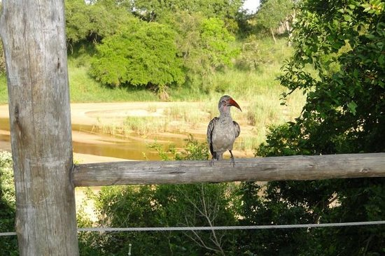 Tamboti Camp: Red-billed hornbill
