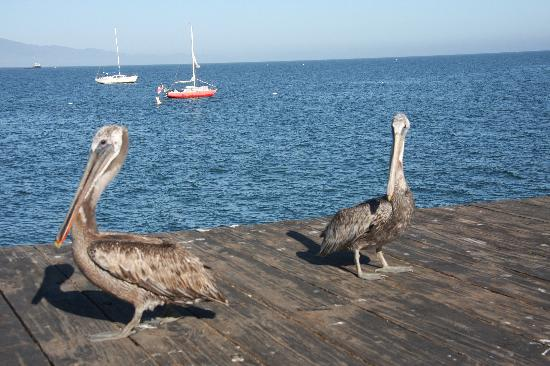 West Beach Inn: Pelicans on the pier