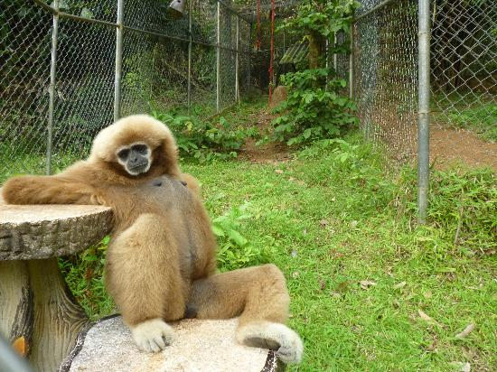 Ката-Бич, Таиланд: One of the gibbons