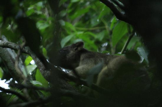Mt Quincan Crater Retreat: Tree Kangaroo