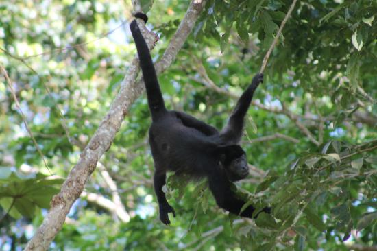 Casa Viva Beach Houses: Howler monkey at breakfast