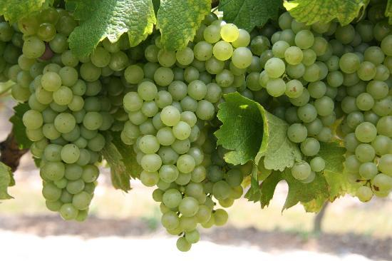 Brokenwood Wines: more grapes