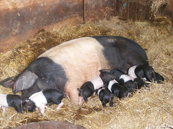 The Grainary: The piglets
