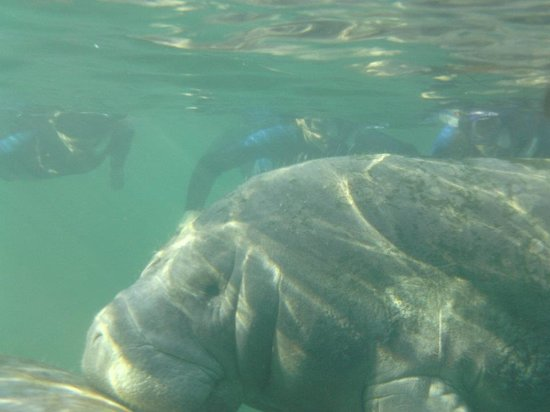 Kissing a manatee - Picture of Sunshine River Tours ...