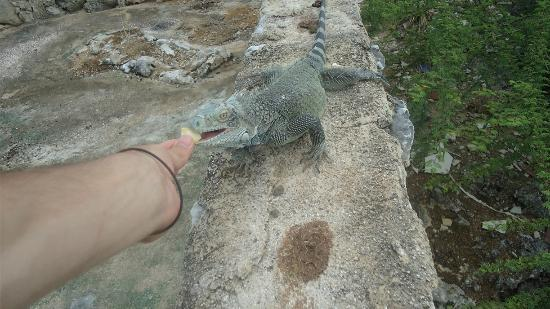 DolphinHeart House accomodations: Iguana getting food by me