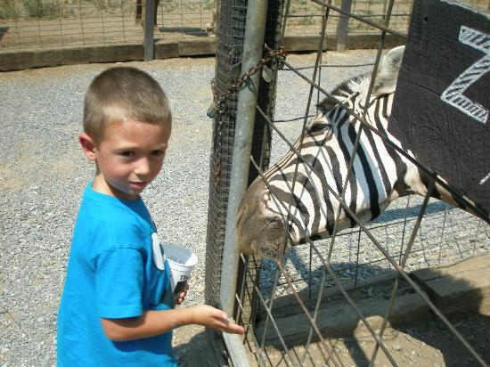 Zebra Petting Zoo Petting Zoo The Zebra