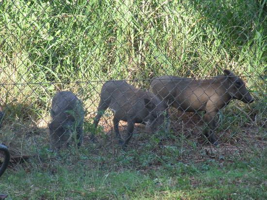 Crocodile Bridge Rest Camp: Warthog passing cottage