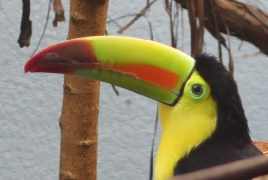 Aviary Keel Billed Toucan