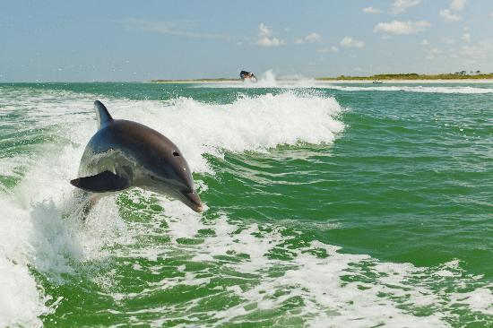 St. Pete Beach, FL: Acrobatic bottlenose dolphins love playing in the wake created by large boats.