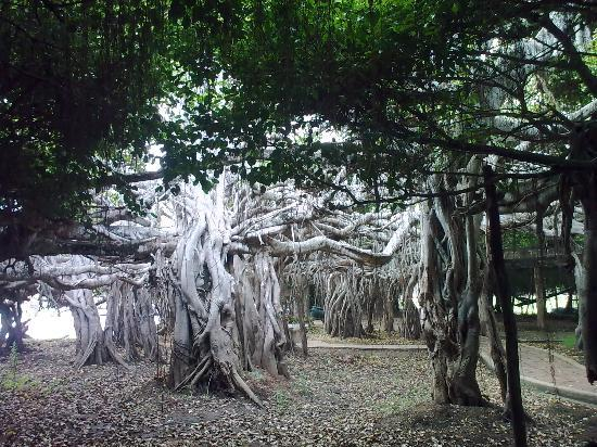 300 y.o. Banyan Tree