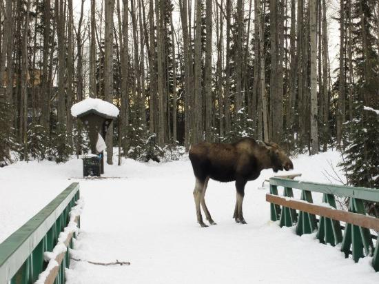 SpringHill Suites Anchorage University Lake: Moose on the walking trail