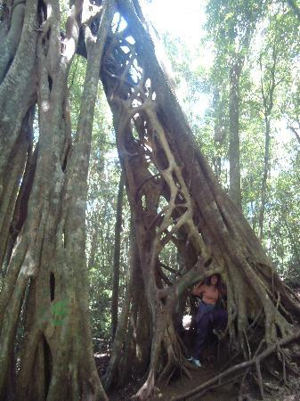 Manakin Lodge: An amazing tree on a tour with Johnny