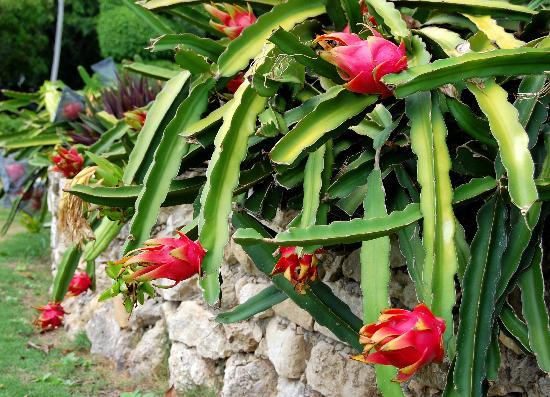 season for dragon fruit
