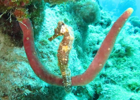 Divi Flamingo Beach Resort and Casino: The sea horse posed!