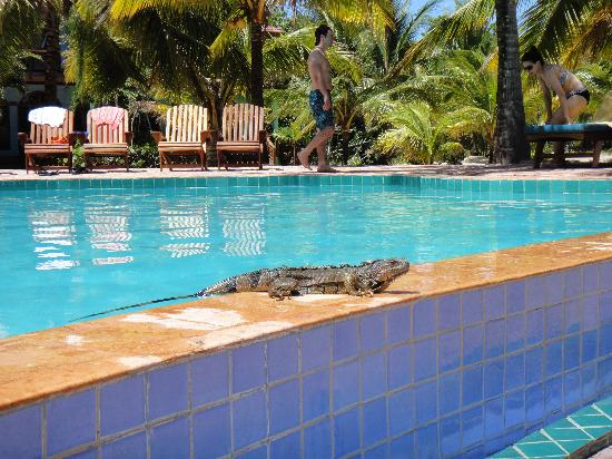 Hopkins, Belize: Iguana sunbathing at pool