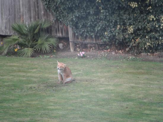 Leigham Court Hotel: A visiting fox