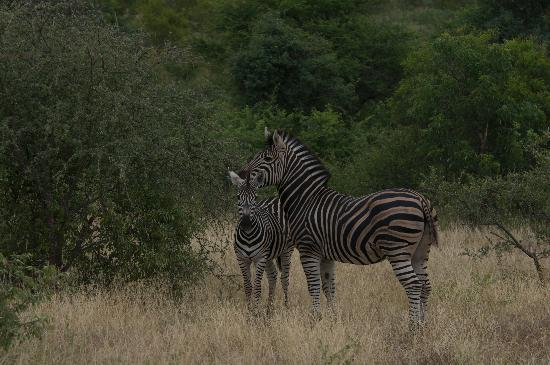 Kambaku Safari Lodge: Zebra