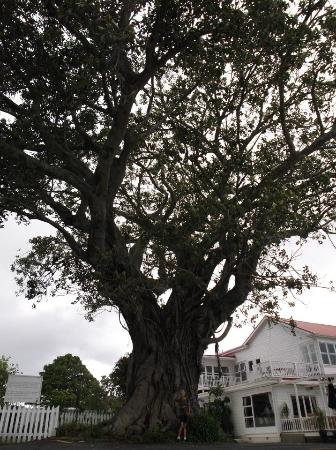 Commodore's Lodge: Over 100 year old fig tree next to lodge