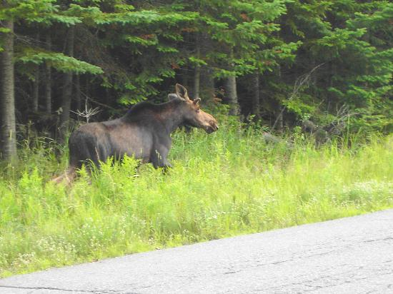 Cozy Moose on Moosehead Lake: Moose Near Kakadjo, Maine