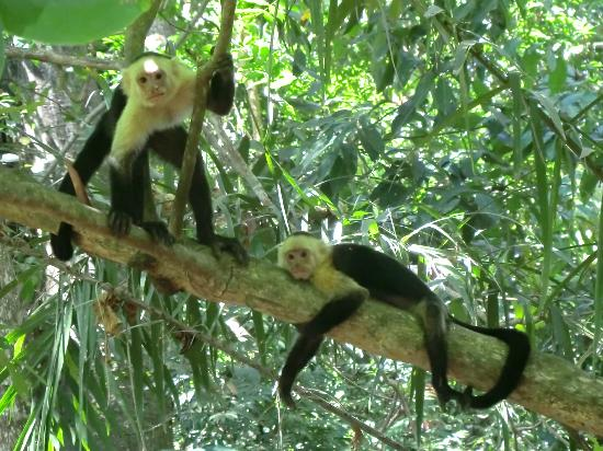 Pargo Feliz Hotel: white face monkeys in Montezuma